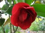 Camellia japonica - Kamelie Dr. Burnside