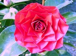 Camellia japonica - Kamelie Rogers Hall
