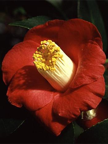 Foto Camellia japonica -