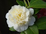 Foto Camellia japonica