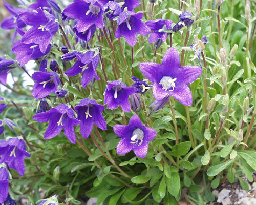 Bellflower Campanula