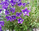 Photos Campanula aucherii