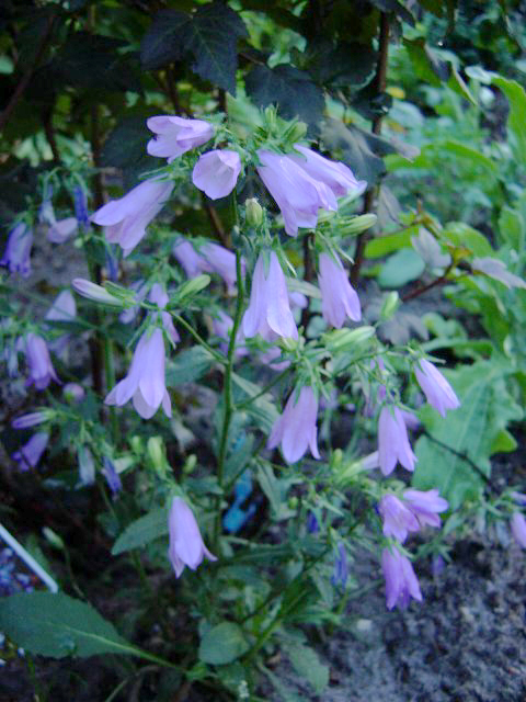 Photos Campanula collina - Bell flower