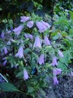 Photos Campanula collina