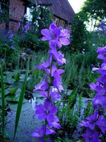Photos Campanula latiloba