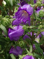 Photos Campanula medium