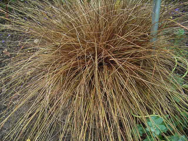 Photos Carex comans - Hanging sedge