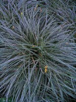 Photos Carex conica