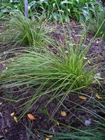 Photos Carex montana