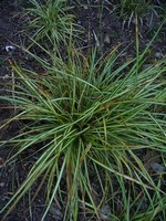 Photos Carex morrowii