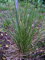 Photos Carex morrowii var. temnolepsis