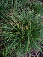 Photos Carex ornithopoda