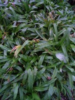 Photos Carex plantaginea