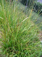 Photos Carex sylvatica