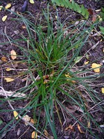 Photos Carex umbrosa