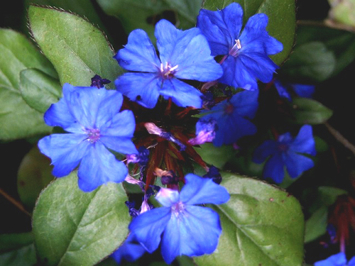 Photos Plumbago larpentiae - Cape leadwort