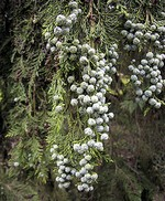 Fotos Chamaecyparis lawsoniana