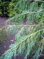 Fotos Chamaecyparis pisifera