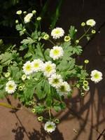 Fotos Chrysanthemum parthenium