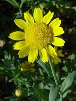 Fotos Chrysanthemum segetum