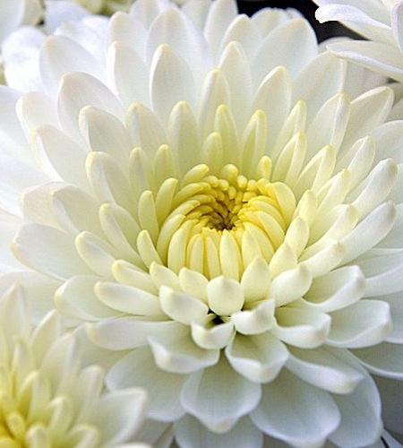 Fotos Chrysanthemum × hortorum -