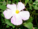 Photos Cistus albidus