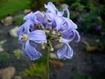 Clematis heracleifolia - Staudenclematis