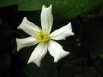 Clematis fargesioides - Paul Farges