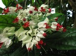Clerodendron thomsoniae - Losstrauch