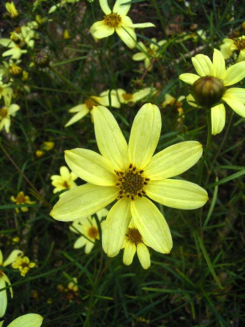 Photos Coreopsis verticillata - Whorled tickseed
