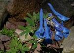 Fotos Corydalis cashmerianum
