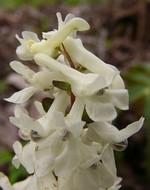Fotos Corydalis cava