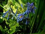 Fotos Corydalis elata