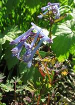 Fotos Corydalis flexuosa