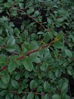 Fotos Cotoneaster dammeri