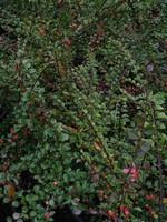 Fotos Cotoneaster horizontalis