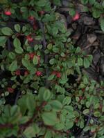 Fotos Cotoneaster microphyllus