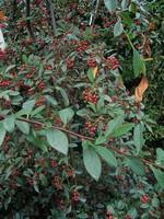 Fotos Cotoneaster x watereri
