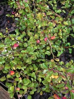 Photos Cotoneaster praecox
