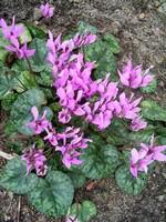 Fotos Cyclamen purpurascens