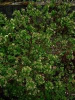 Daphne x burkwoodii - Burkwoods Seidelbast, Marien-Seidelbast