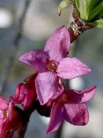 Daphne mezereum - Gemeiner Seidelbast, Kellerhals