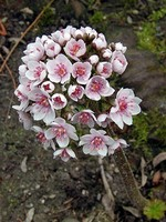 Darmera peltata - Garten-Schildblatt Hameln