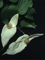 Davidia involucrata var. vilmoriniana - Kahler Taubenbaum