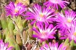 Delosperma aberdeenense - Zwergige Stauden-Mittagsblume