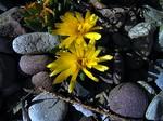 Delosperma congestum - Zwergige Stauden-Mittagsblume