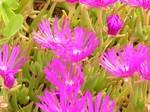 Delosperma cooperi - Oranje-Stauden-Mittagsblume