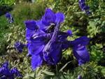 Delphinium belladonna - Verzweigter Garten-Rittersporn Atlantis
