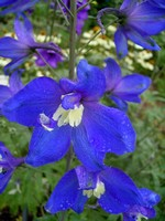 Delphinium elatum - Hoher Rittersporn Lanzenträger