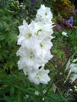 Delphinium elatum - Hoher Rittersporn Polarfuchs